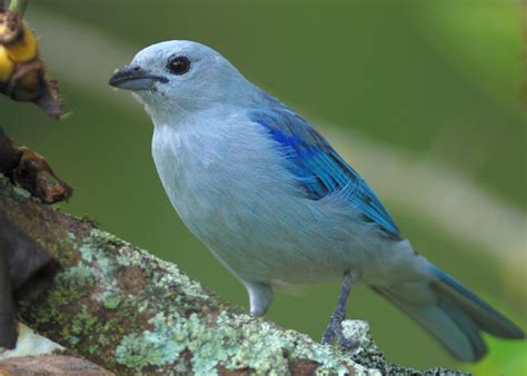 dead birds for sale for taxidermy blue grey tanager buy dead birds for taxidermy