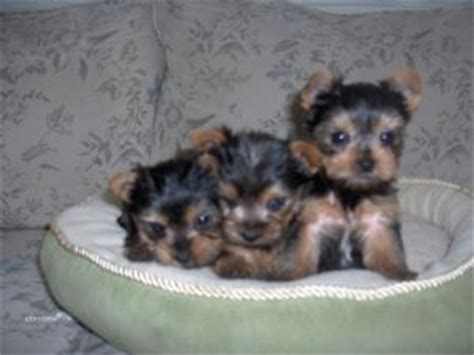 yorkies for sale in tennessee terrier puppies in tennessee