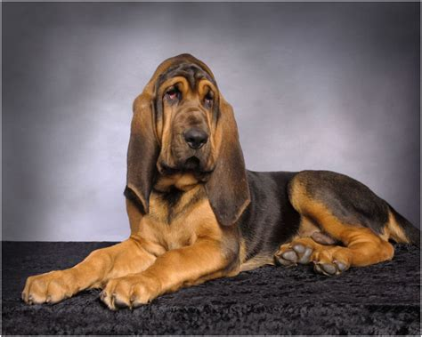Bloodhound Shedding by Bloodhound Facts Pictures Puppies Breeders Temperament Rescue Animals Adda