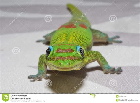buy house gecko gold dust day gecko while looking at you royalty free