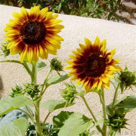 jual benih bunga matahari titan import   lapak