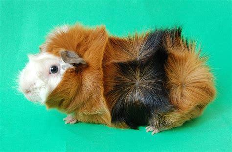 breeds guinea pig care online