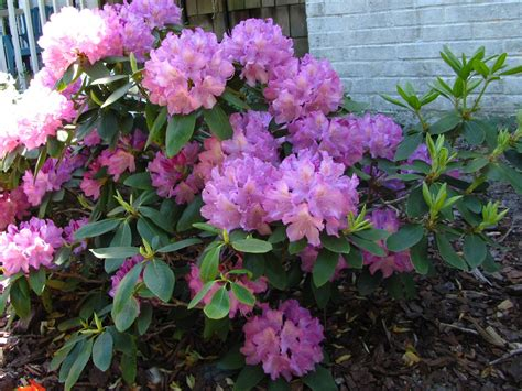 top 28 planting rhododendrons how to grow