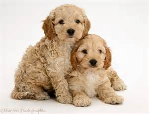 Golden Retriever Puppies For Sale In Pa » Home Design 2017