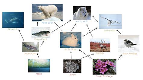 porcupine diagram arctic hare diagram porcupine diagram elsavadorla