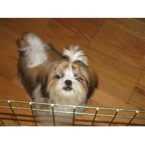 shih tzu nyc shih tzu puppies for adoption in new york