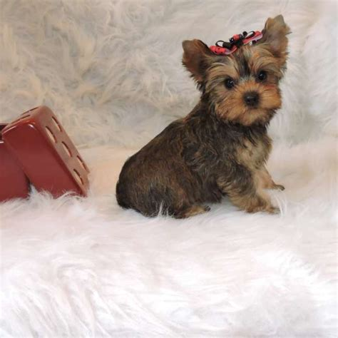 gold yorkie puppies golden terrier for sale seth teacup yorkies sale