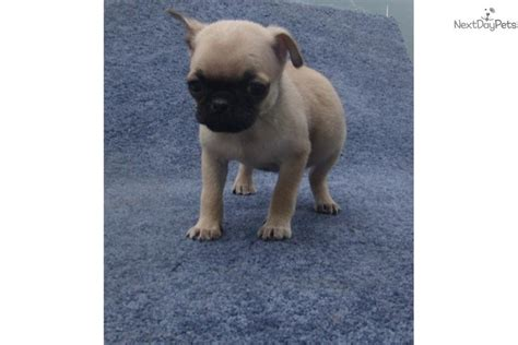 brown pugs for sale dogs and puppies for sale and adoption oodle marketplace