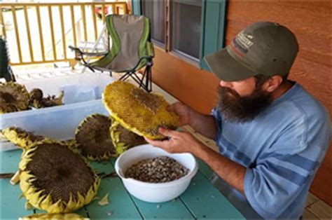 harvesting and eating sunflower seeds modern