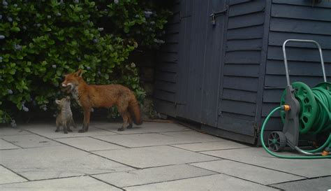 get rid of foxes in backyard get rid of foxes in backyard 28 images get rid of