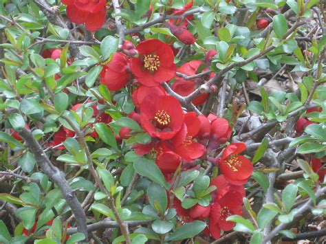 flowering quince shrub a perennial flowering quince crimson gold