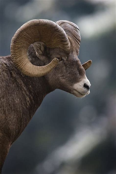 new year animals ram 78 best ideas images on nature
