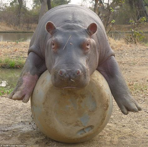Hippo Top 1 hip hip hooray douglas the orphan hippo is released into
