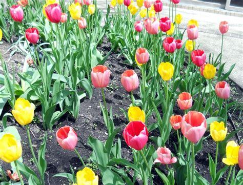 Bibit Bunga Tulip Di Indonesia cara menanam tulip di indonesia bibitbunga