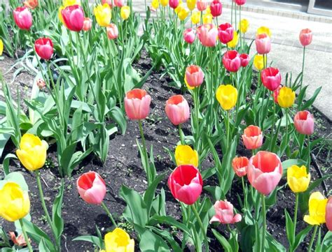 Bibit Bunga Tulip cara menanam tulip di indonesia bibitbunga