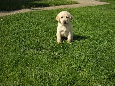 yellow lab puppies mn akc yellow lab puppies for sale iawaterfowlers