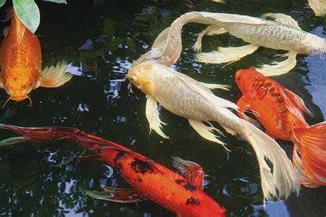 Aquascape Pools Fish