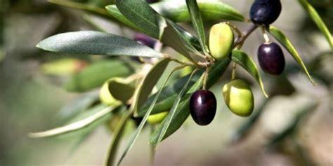 Minyak Zaitun Paling Kecil zaitun ciri ciri tanaman serta khasiat dan manfaatnya