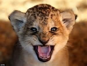 im  ferocious beast       lion cub