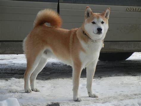 shiba inu puppies adoption discover and save creative ideas