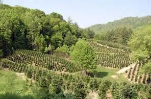 christmas tree farms in va mount rogers area tree growers association whitetop mountain virginia usa