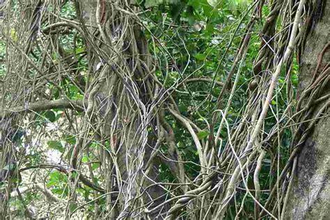 woody climbing plant hiptage benghalensis