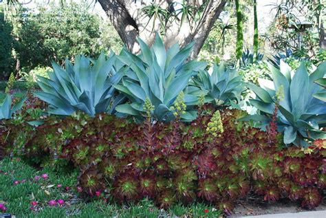 plantfiles pictures agave blue fox tail agave dragon
