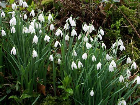 english bluebell wild daffodil snowdrop bulbs etc wild