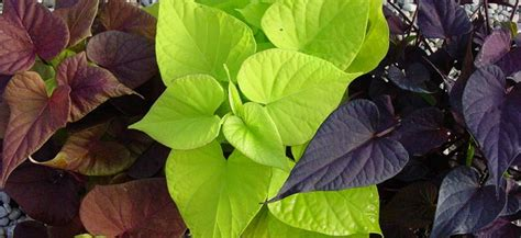 Pots For Sale Ipomoea Batatas Sweet Heart Light Green