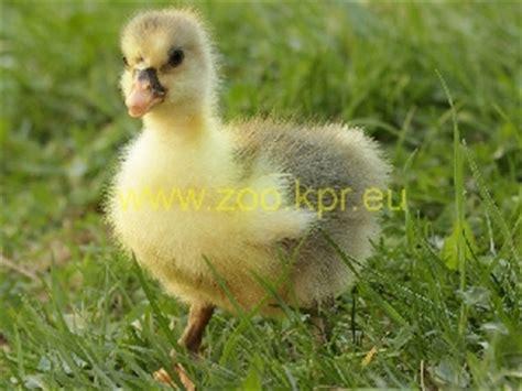 grey saddleback pomeranian goslings pomeranian goose poultry breeds encyclopedia