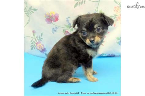 chihuahua puppies near me haired black trindle white chihuahua puppy chihuahua puppy for sale near