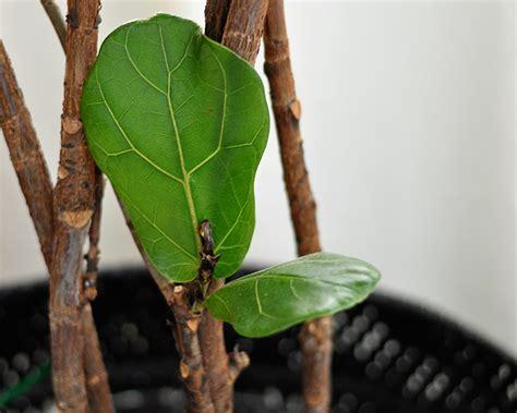 how to keep a fiddle leaf fig alive and happy fiddle houseplant week fiddle leaf fig jen bosen