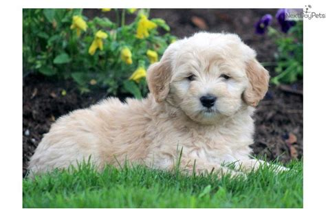 dogs with doodle in name goldendoodle names breeds picture