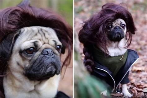 doug the pug teddy 17 best images about animals pics on tiny puppies teddy