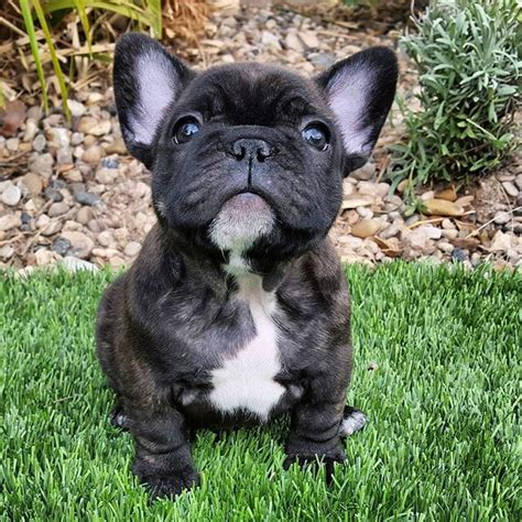brindle bulldog puppies the 25 best brindle bulldog ideas on bulldog puppy black