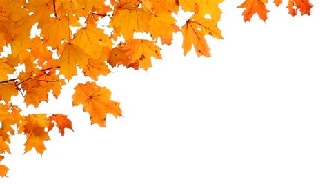 Falling Leaves On White Background Stock Footage Video 3552230 Shutterstock Fall Leaves On White Background