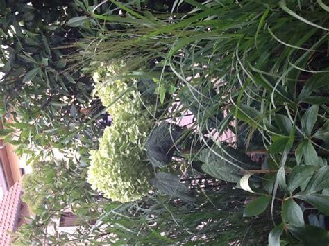 Freiland Hortensie Vanille Fraise 1625 by Freiland Hortensie Incrediball 174 Hydrangea Arborescens