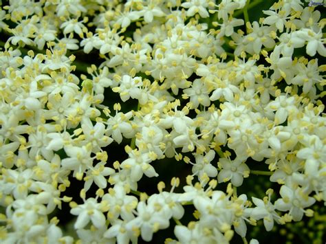 sambuco fiori sambuco