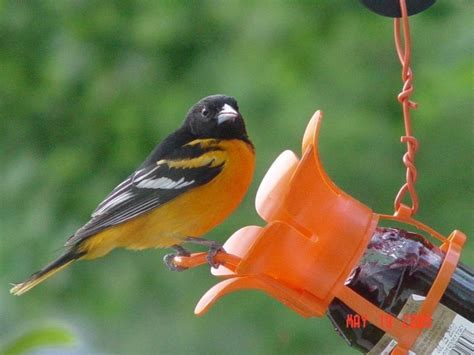 baltimore oriole at jelly feeder birds pinterest