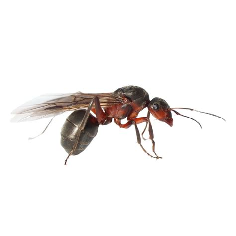 how to tell the difference between termites and flying ants aerex pest control
