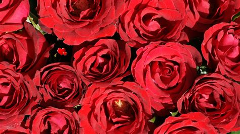 wallpapers red rose wallpapers rose wallpaper beautiful roses