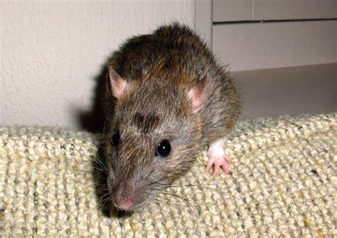 tostapane topolino trovano un topo nel tostapane a colazione
