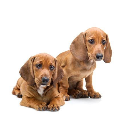 gestation time for dogs how are dogs for lifestyle9