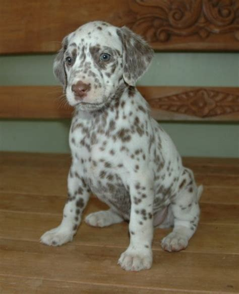 rottweiler and dalmation mix 696 best images about all mixed up mixed breed dogs on mixed breed