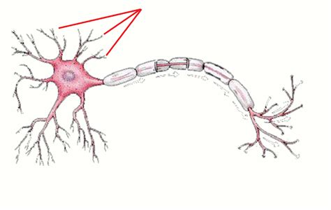 Nerve Cell Detox by Cells Of Cns At Western Of Health Sciences