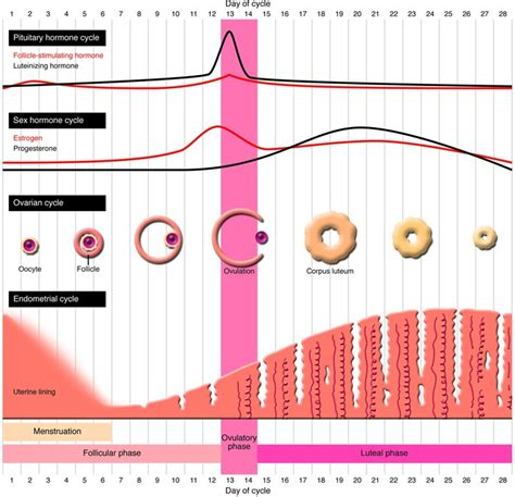 JCI - As the world grows: contraception in the 21st century Female Period Cycle