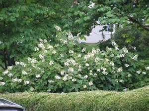 Large Flowering Bushes - beautiful large flowering bushes homesfeed