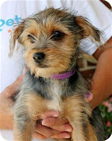 when is a yorkie no longer a puppy best 25 yorkie terrier mix ideas on