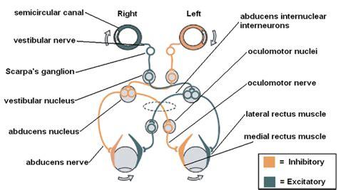 vestibular nerve definition sensory systems vestibular signal processing wikibooks
