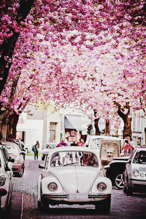 cherry tree used cars best 20 cherry blossom tree ideas on